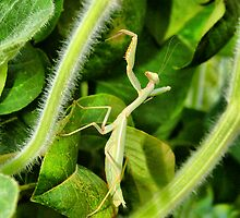 "Mantis by Antonello Incagnone ""incant"""