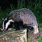 Badger (Meles meles) by ten2eight