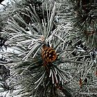 Pinecone in winter by maremagee