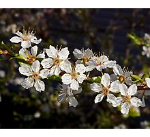 crystal clear cherry blossoms Photographic Print
