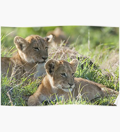Two attentive lion cubs Poster