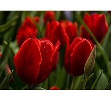 Vivid Red Tulip Garden Photographic Print