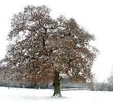 Oak tree in snow. by Amanda Gazidis