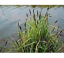 Grasses With Seed Heads Photographic Print