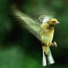 In flight Chaffinch by Russell Couch