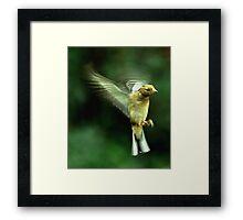 In flight Chaffinch Framed Print