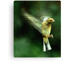 In flight Chaffinch Canvas Print