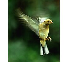 In flight Chaffinch Photographic Print