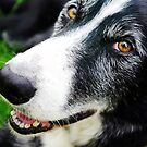Rock, the sheep dog by Guy Carpenter