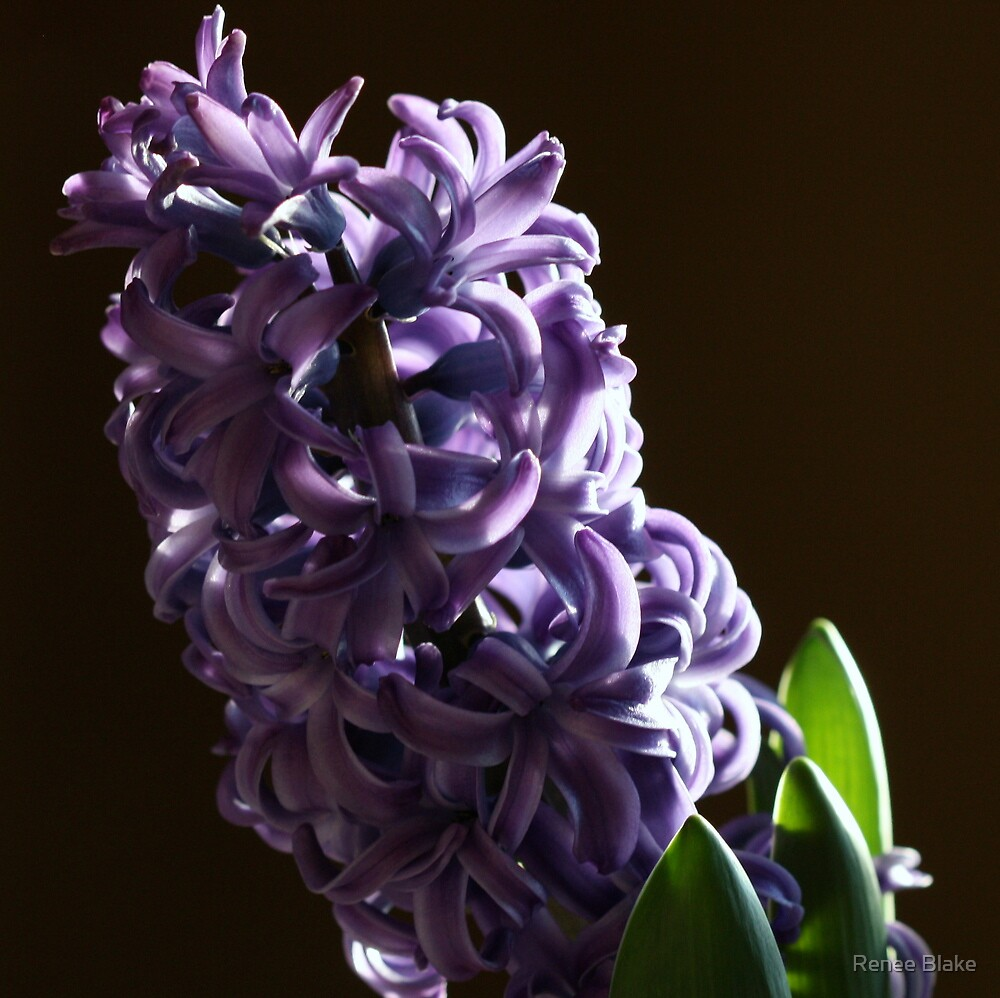 Hyacinth by Renee Blake