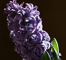 Hyacinth by Renee Blake