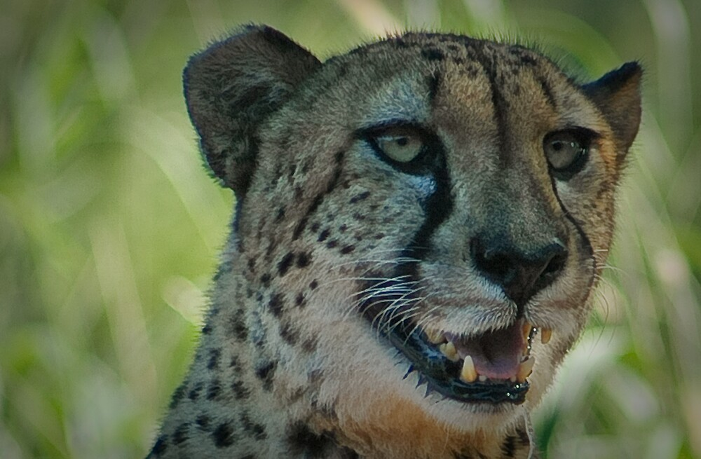 Big Cat by lincolngraham