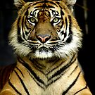 Sumatran Tiger Portrait by Steve Munro