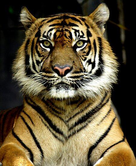 Sumatran Tiger Portrait by Steve Munro
