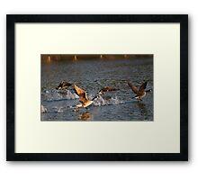 Geese taking flight 1 Framed Print