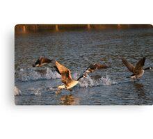 Geese taking flight 1 Canvas Print