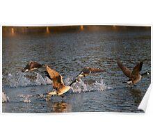 Geese taking flight 1 Poster