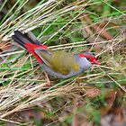 Red-browed Finch (Neochmia temporalis) by Geoff Beck