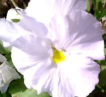 Snow White Pansy by Charldia