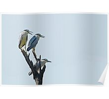 Black crowned night herons Poster