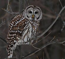 Barred Owl Stare by Bill McMullen