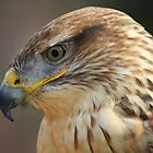 Ferruginous Hawk Up Close by Paulette1021