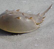 Horseshoe Crab by Karen Checca