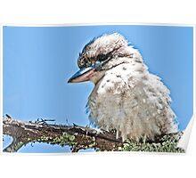 Juvenile Kookaburra Poster