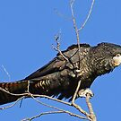 Red-Tail Black Cockatoo (Female) by Rick Playle