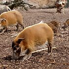 Visayan Warty Pigs by AnnDixon