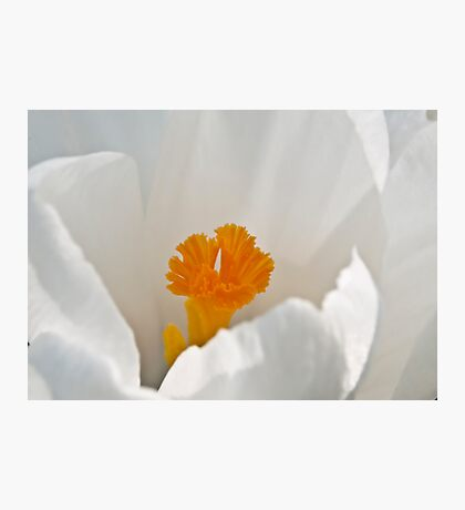 White Crocus Photographic Print