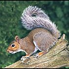 Grey Squirrel (Sciurus Carolinensis) by ten2eight