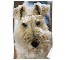 Wire Haired Fox Terrier Poster