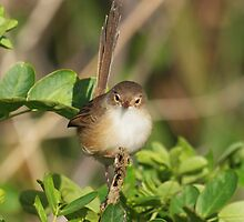 Female or Young male Red-Backed Fairy Wren by kirribas30