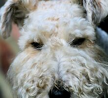 Wire Haired Fox Terrier by rhallam