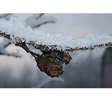 Frozen plums Photographic Print