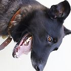 Mouth wide open, black German shepherd cross with Belgium shepherd  by Demelza Snell
