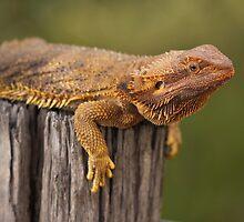 Inland Bearded Dragon by Steve Bullock