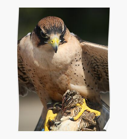 Lanner Falcon eating a Quail Poster
