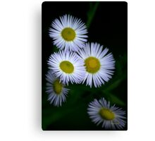 White Fleabane Wildflower Art Canvas Print
