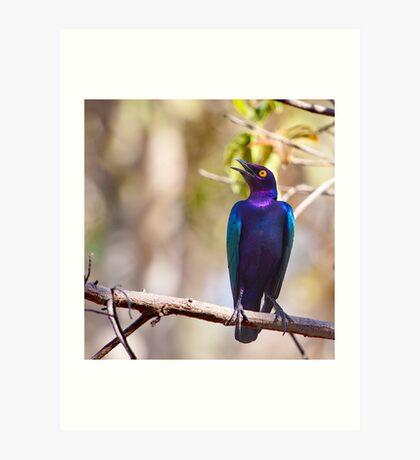Glossy starling singing loud and proud Art Print