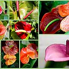 ANTHURIUM COLLECTION by Esperanza Gallego