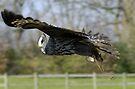 Great Grey Owl in flight by David Carton
