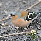 Chaffinch  by Dorothy Thomson