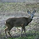Whitetail by SKNickel