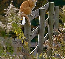 cat on fence by naturalgifts