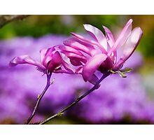 Purple Magnolia Photographic Print