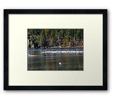 A Colony of Gulls Framed Print