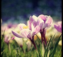 Crocuses are blooming! by Marc Loret