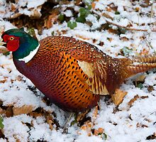 The Stalking Pheasant by McBay